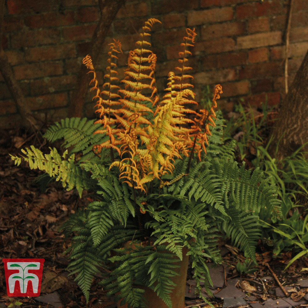 Image of Dryopteris wallichiana 'Jurassic Gold'