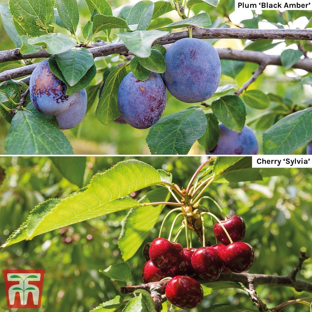 Image of Cherry & Plum Duo (Mini Fruit Trees)