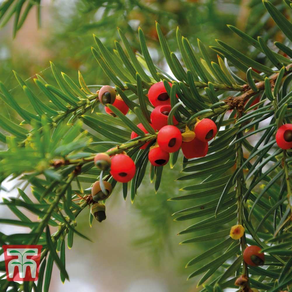 Image of English Yew (Hedging)