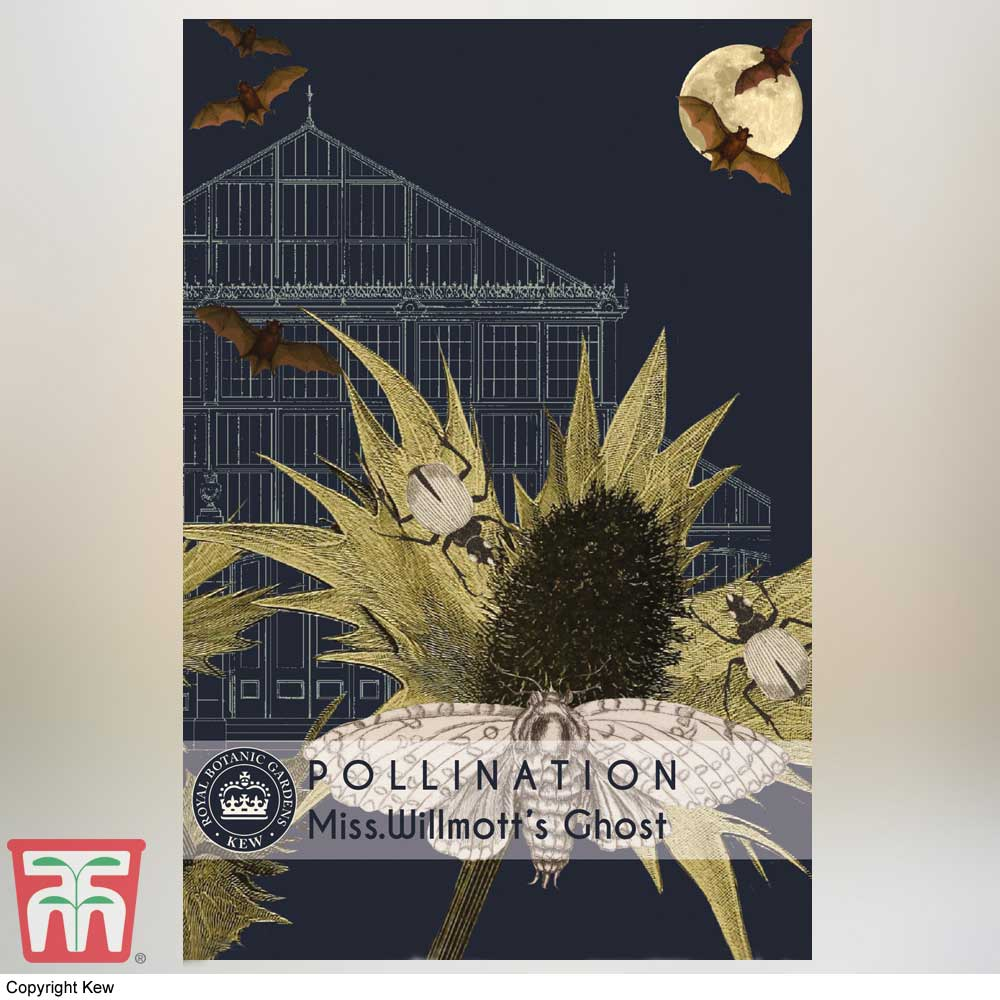 Image of Eryngium giganteum 'Miss Willmott's Ghost' - Kew Pollination Collection