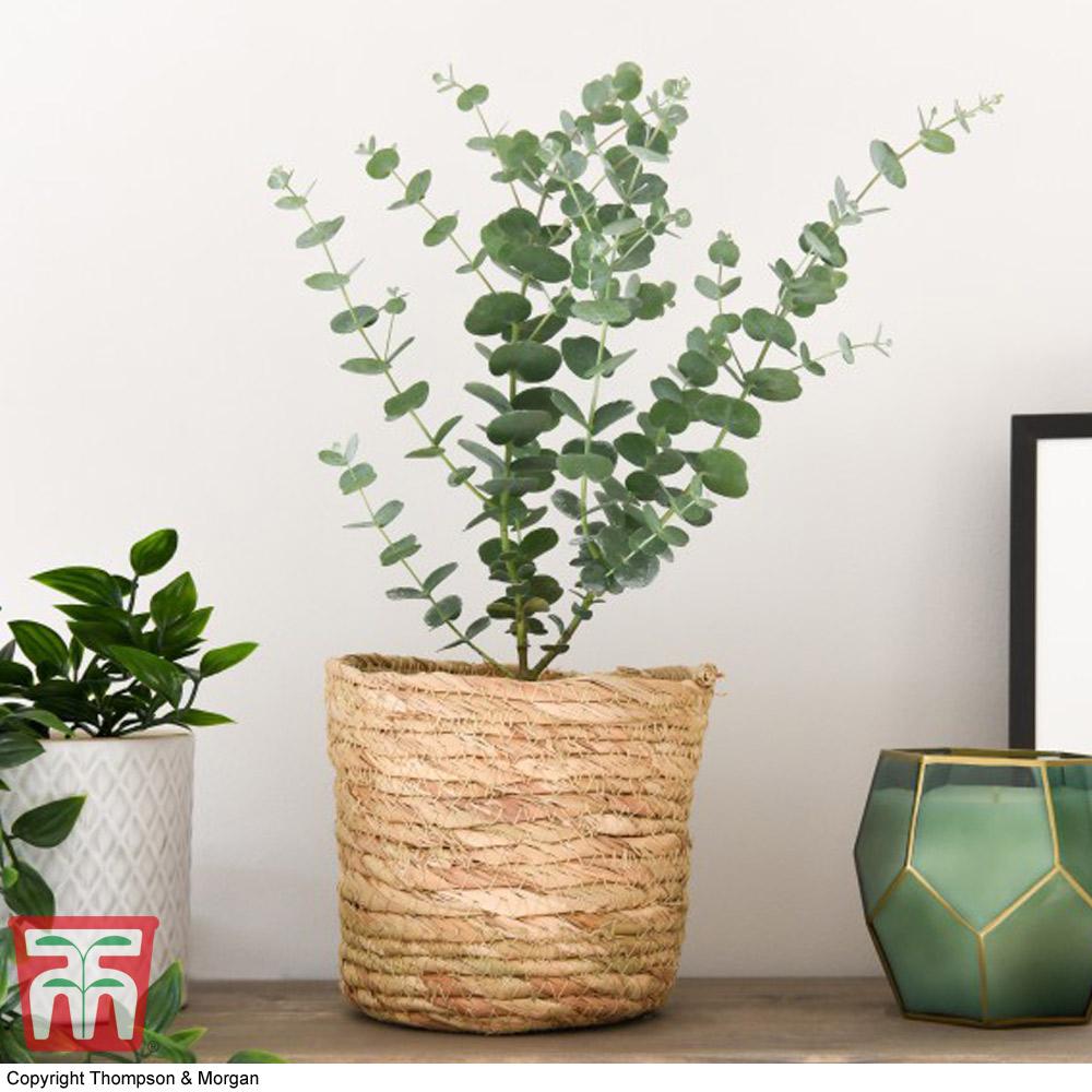 Image of Eucalyptus 'Azura' - Gift