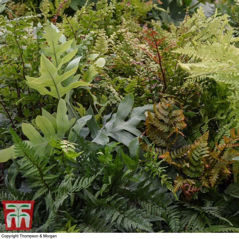 Image of Fern Houseplant Mix