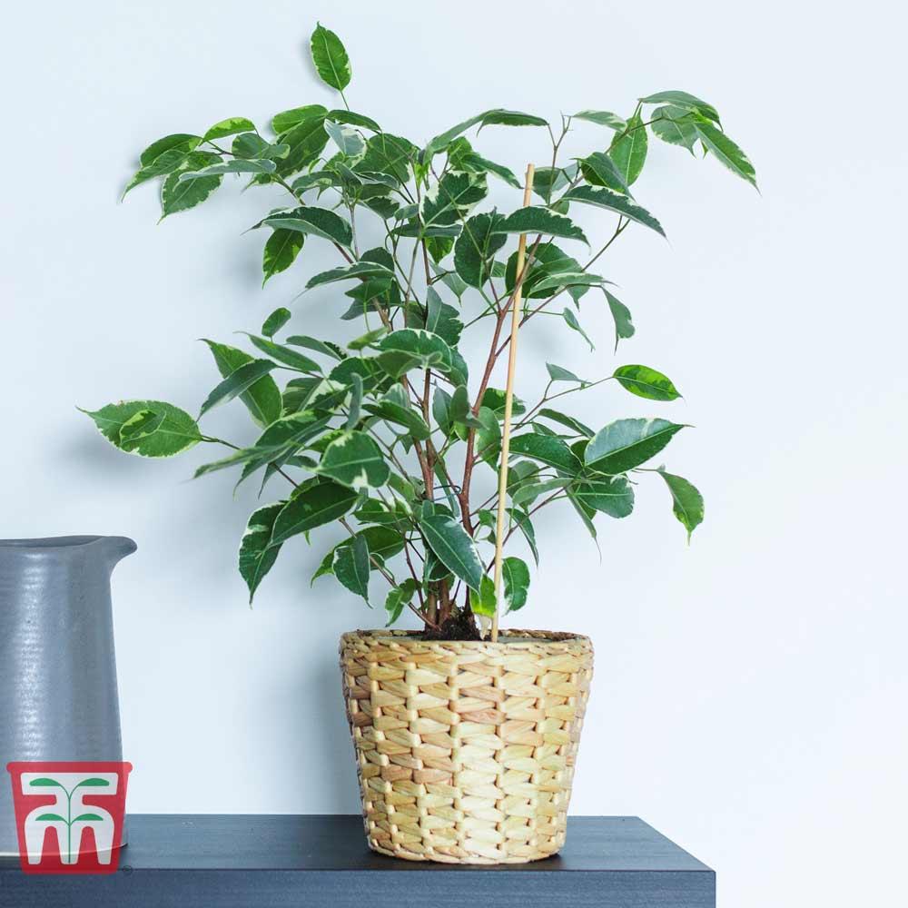 Image of Ficus benjamina (House Plant)