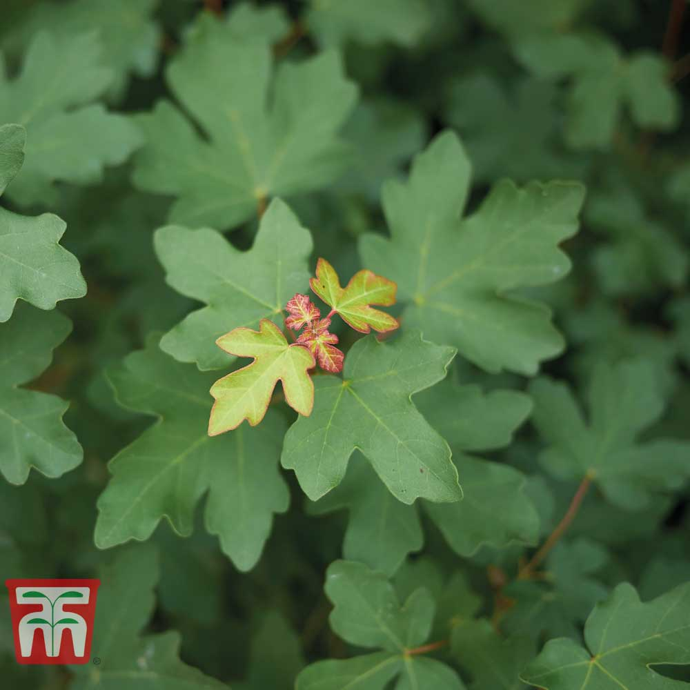 Image of Field Maple