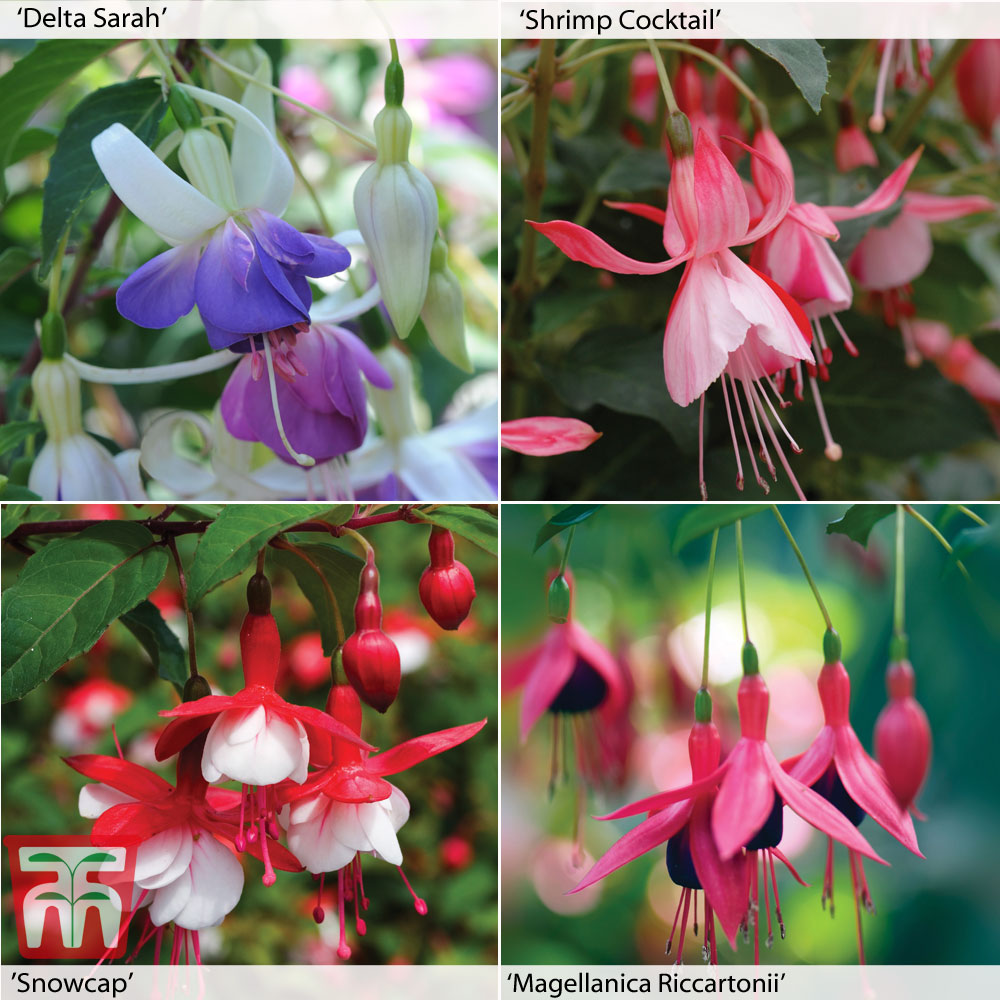Image of Fuchsia Hardy Collection