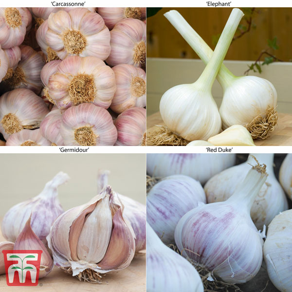 Image of Garlic Autumn Planting Collection