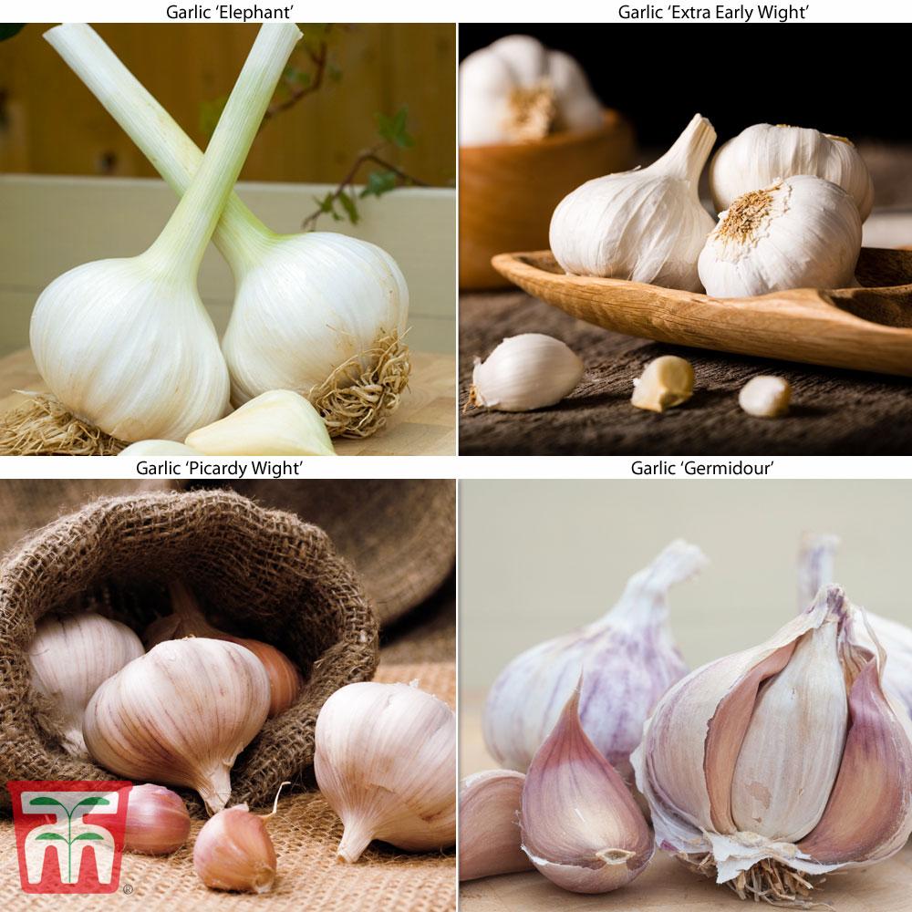 Image of Autumn Garlic Collection (Autumn Planting)