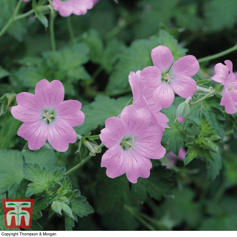Image of Geranium endressii