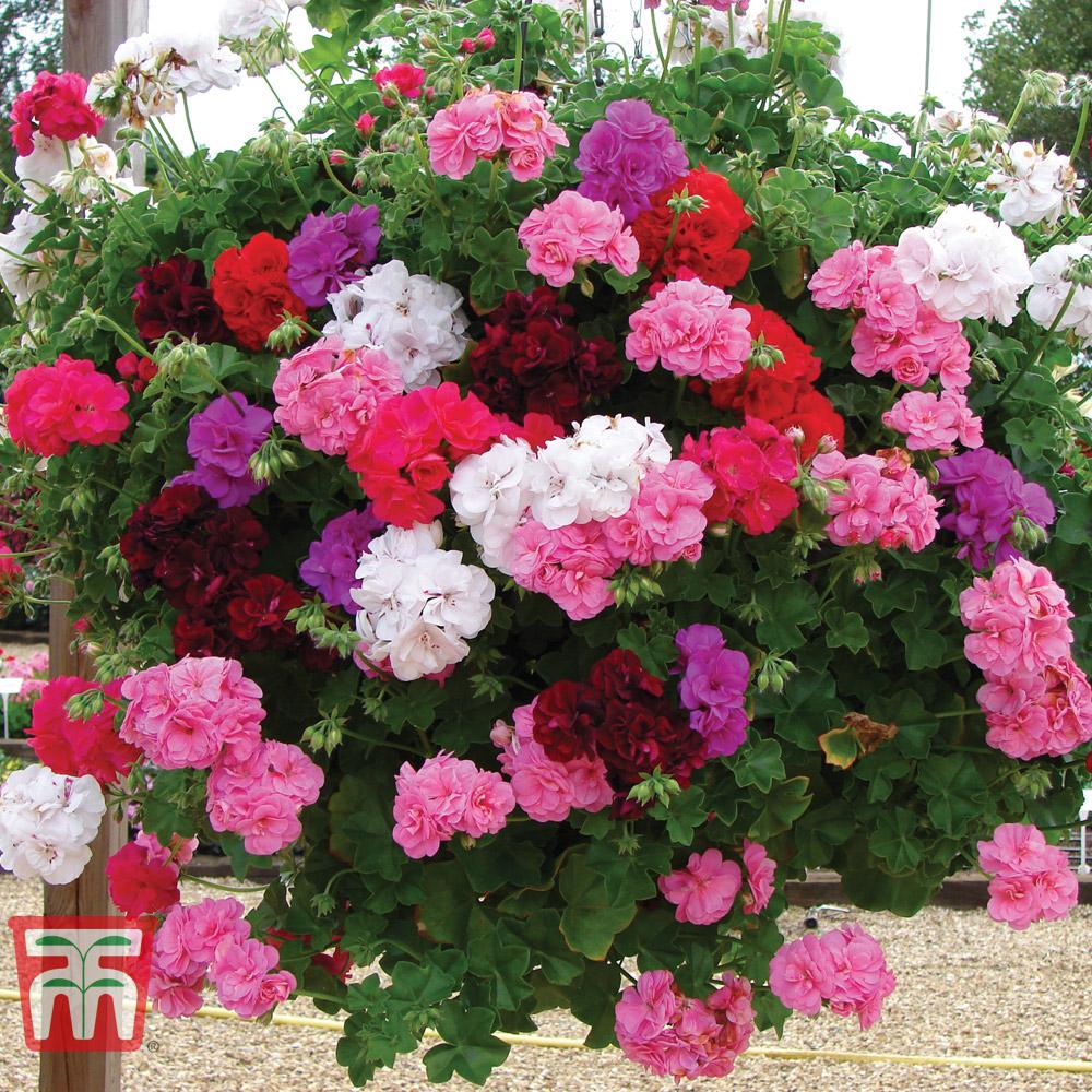 Geranium \'Rosebud Collection\'