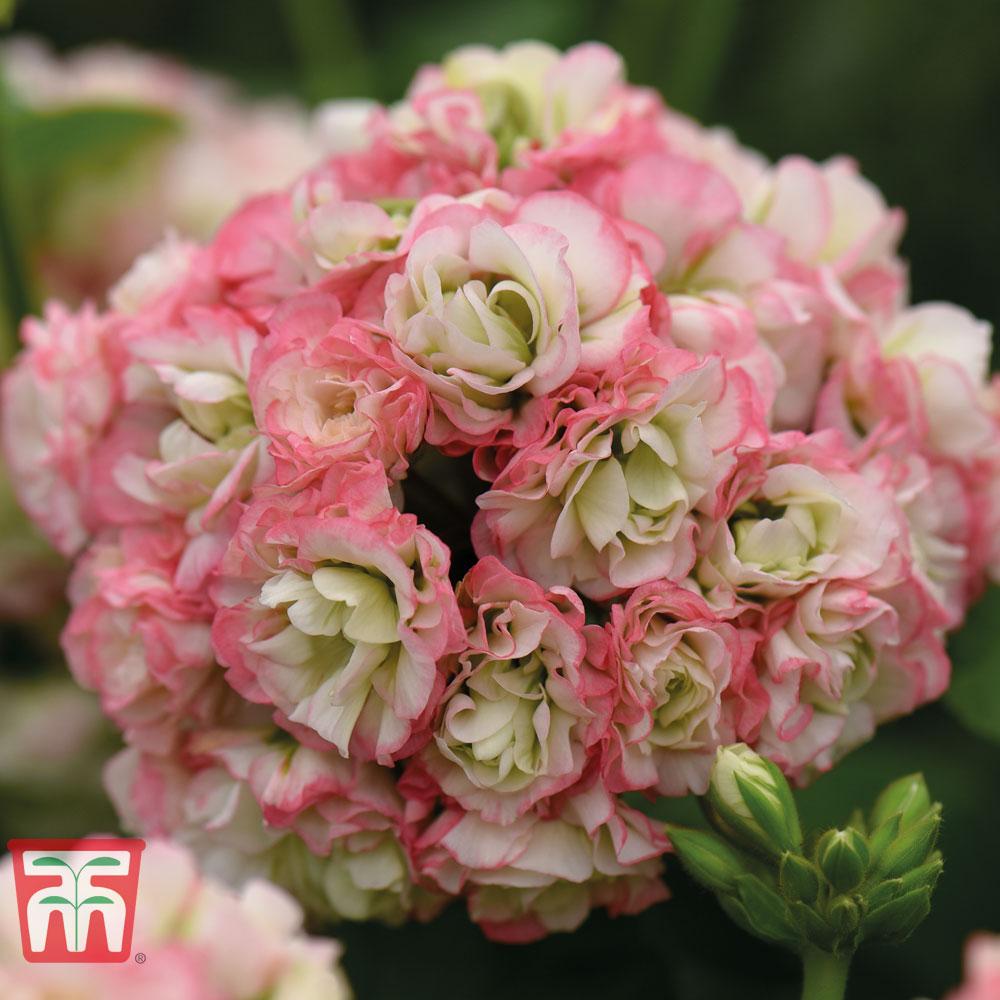 Geranium \'Appleblossom Rosebud\'