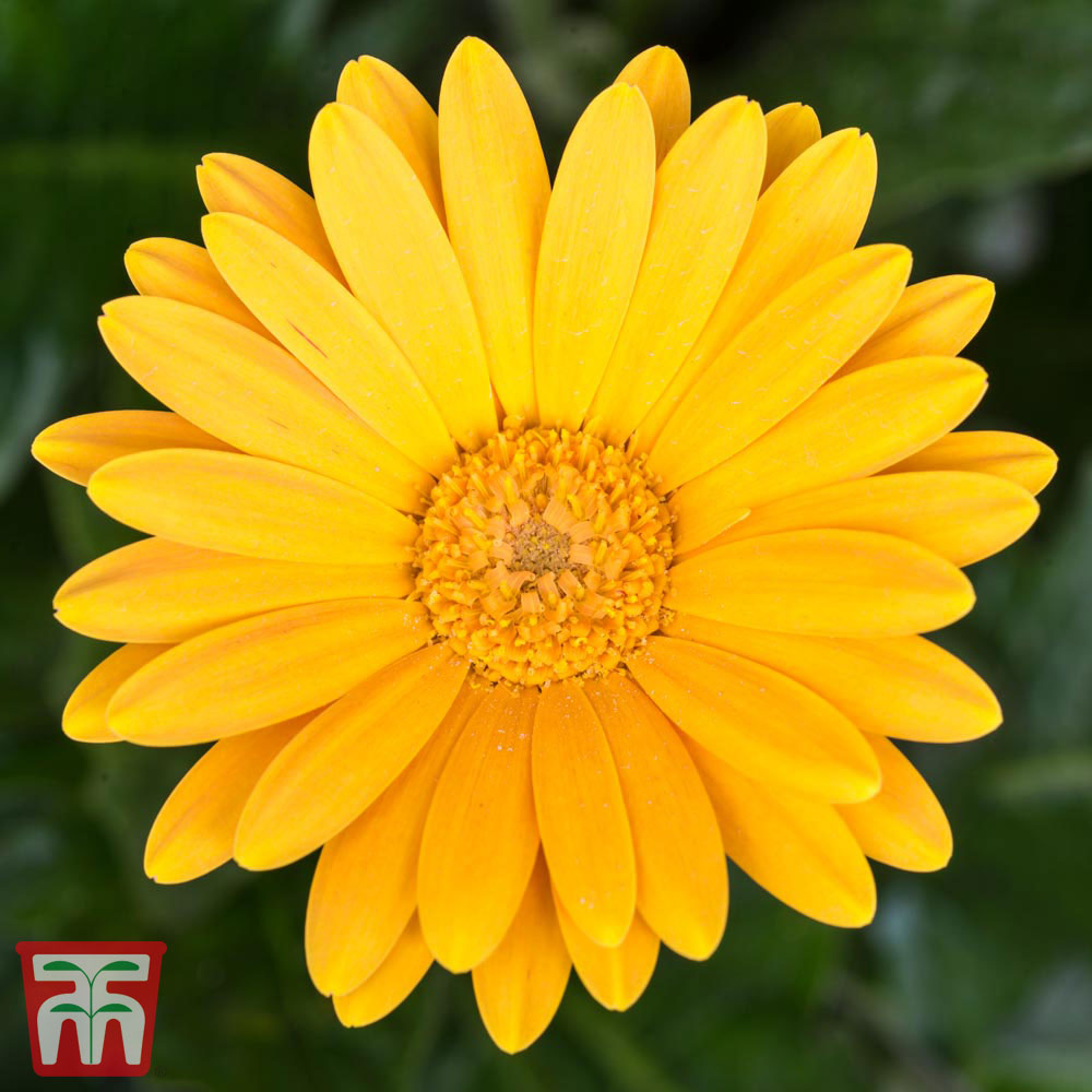 Perennial Daisy At Thompson Morgan