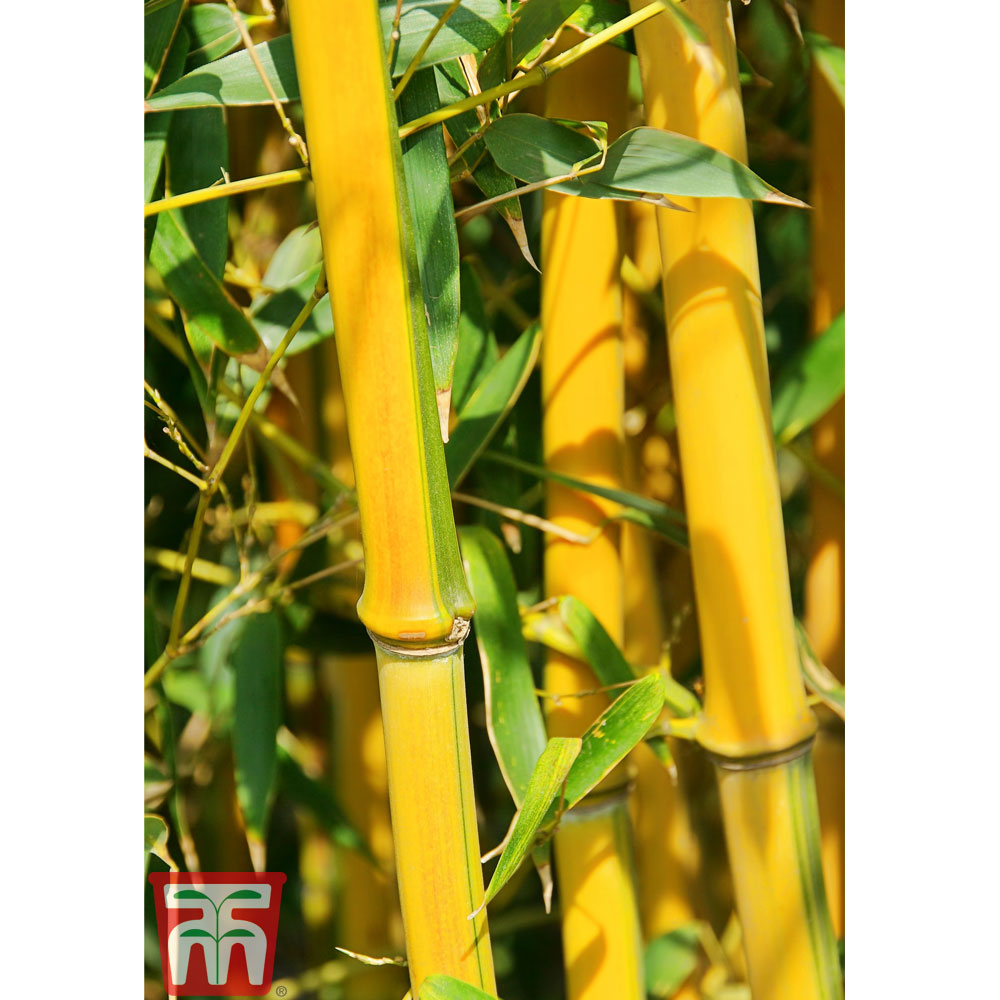 Image of Golden Bamboo
