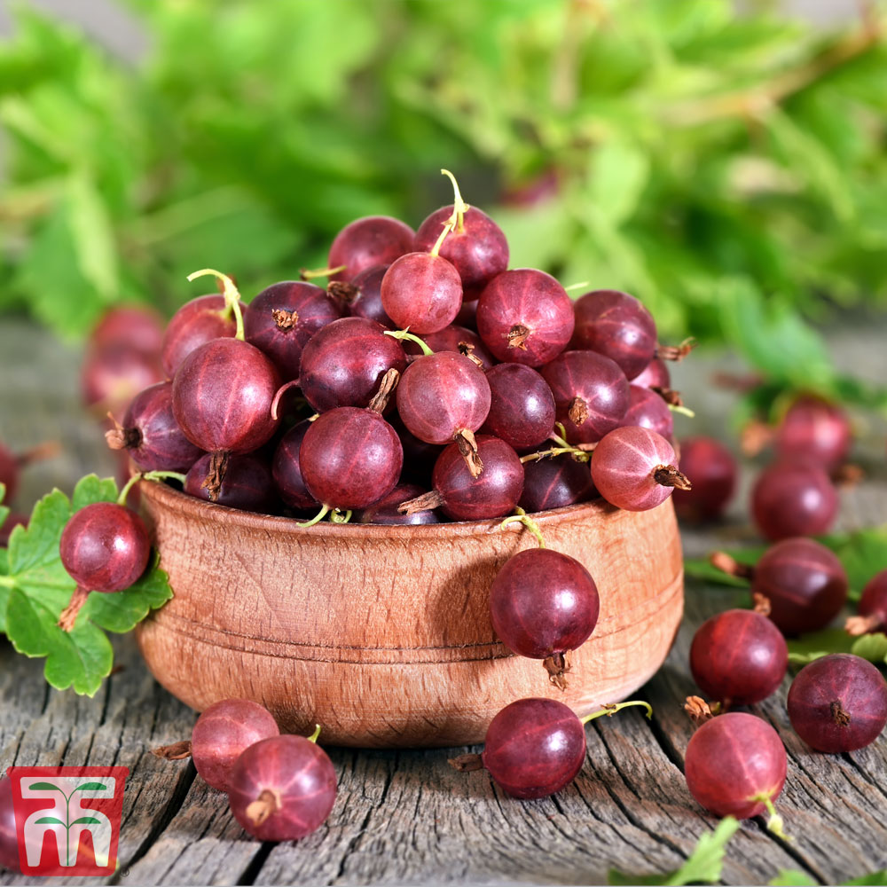 Image of Gooseberry 'Giggles Red'