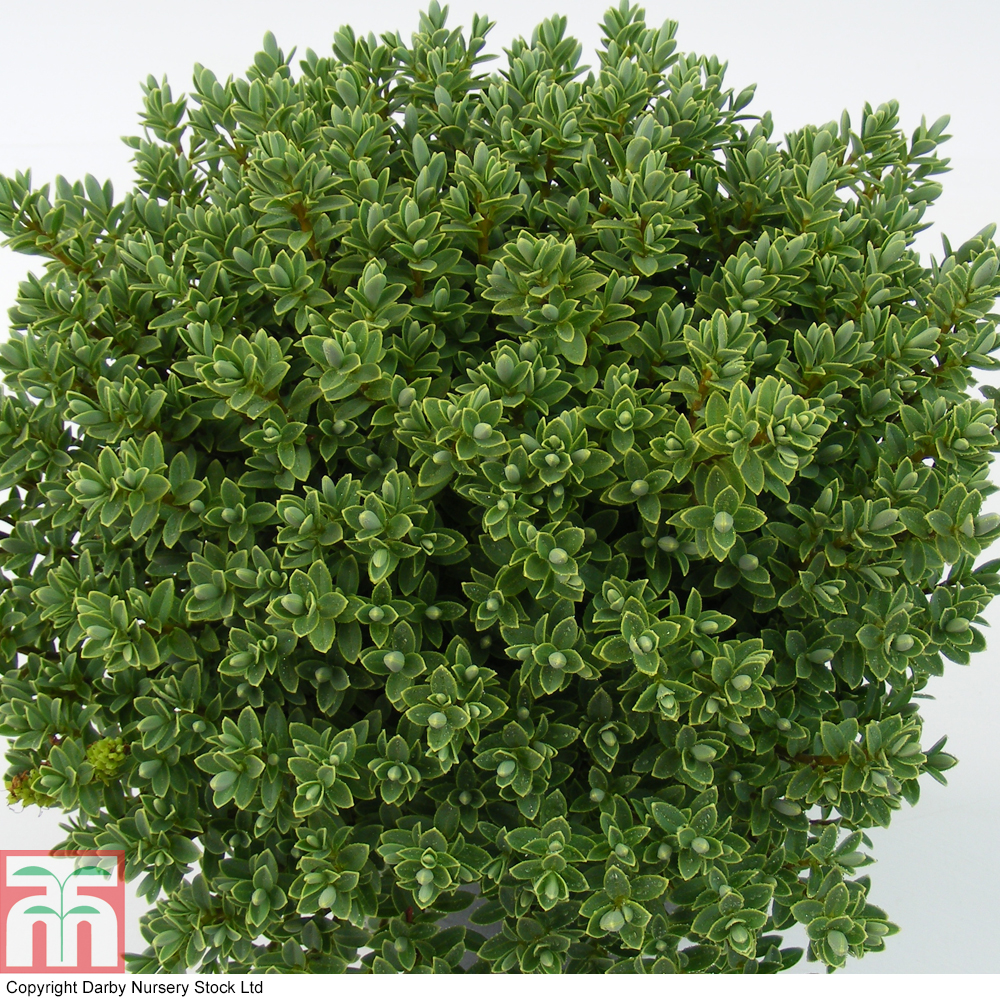 Small Evergreen Shrubs For Pots: Evergreen Shrubs For Containers Uk