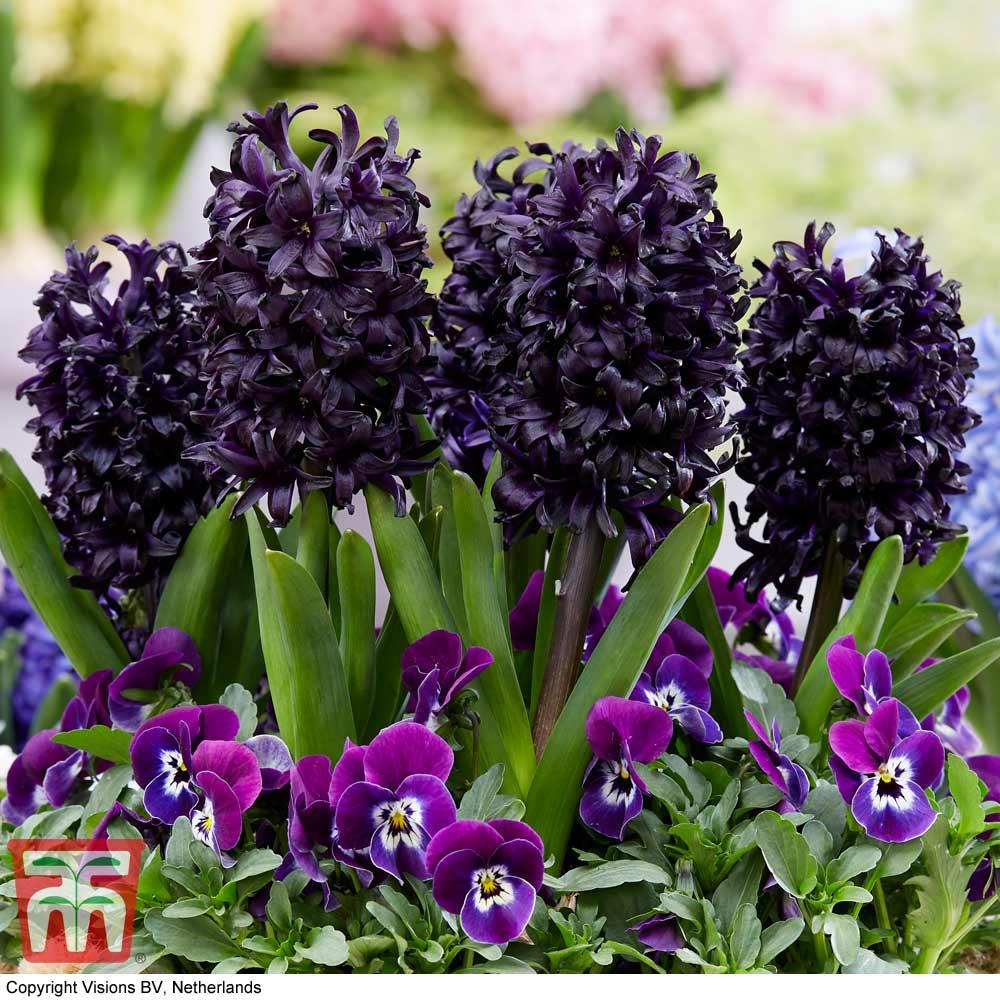 Image of Hyacinth 'Midnight Mystic'®