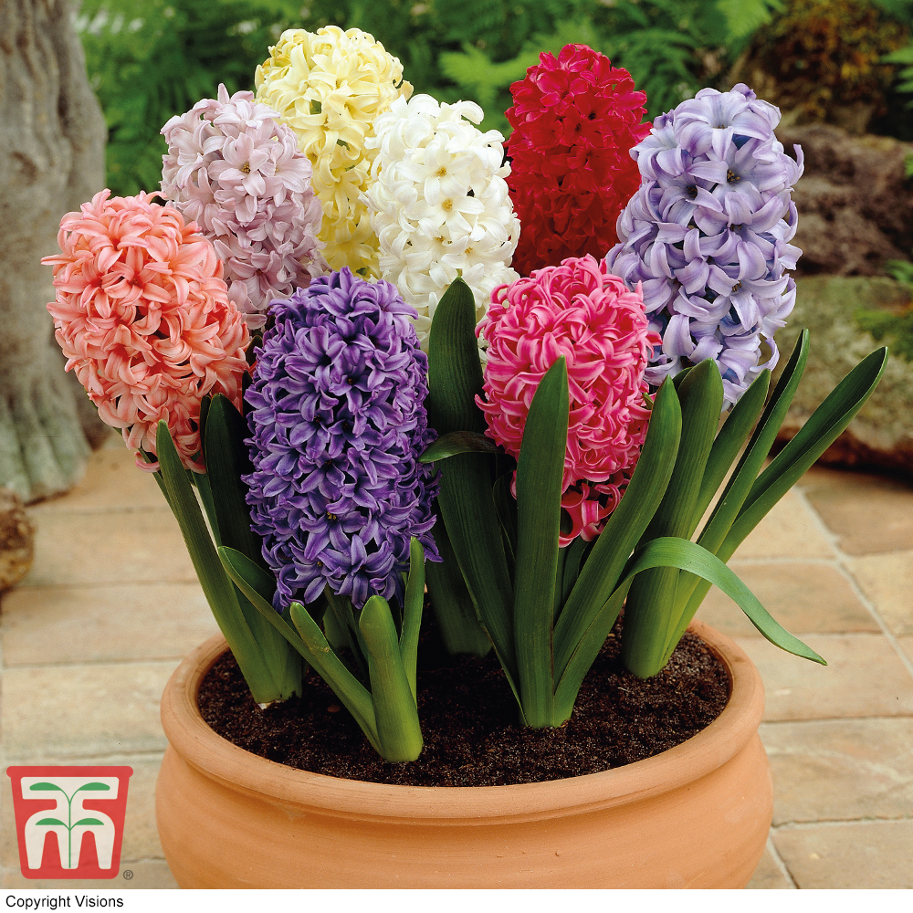 Image of Hyacinth 'Breeder's Selection'