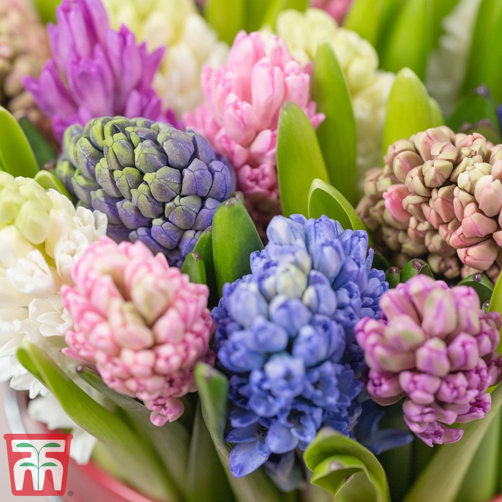 Image of Hyacinth 'T&M Mix'