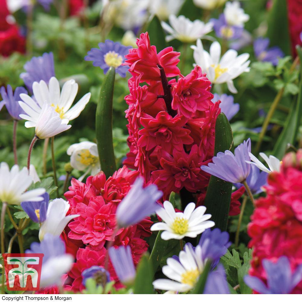 Image of Hyacinth 'Hollyhock' and Anemone blanda Mix