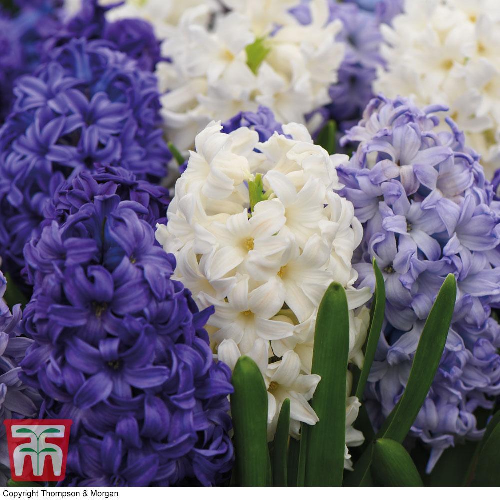 Image of Hyacinth 'Rhapsody in Blue'