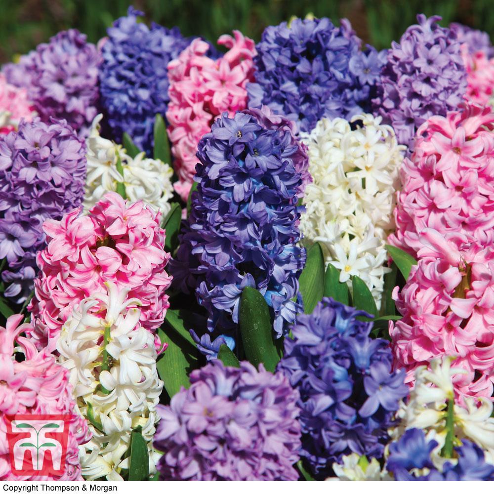 Image of Hyacinth 'Value Mixed'