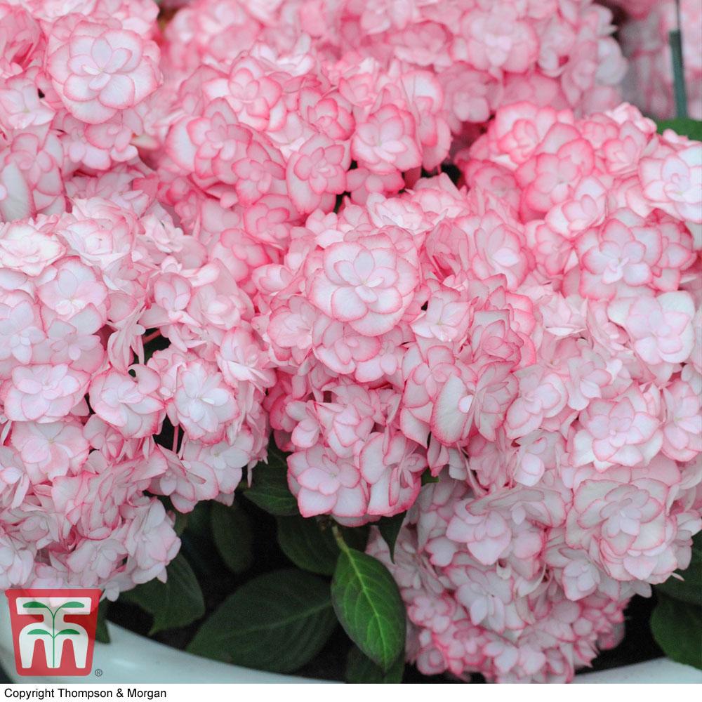 Image of Hydrangea macrophylla 'Miss Saori'