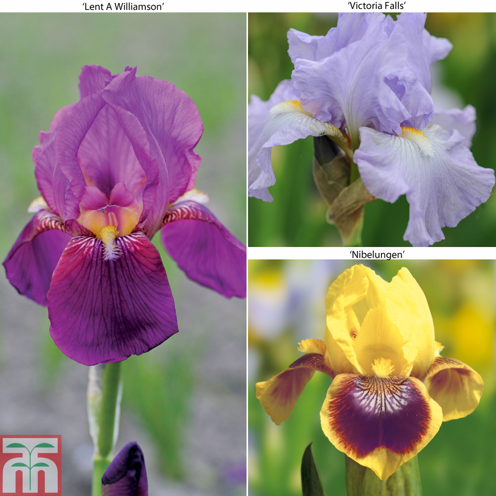 Image of Bearded Iris Collection