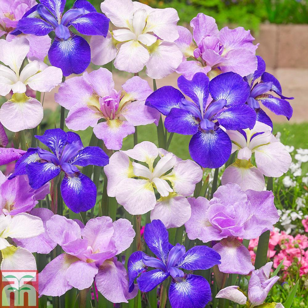Image of Iris Sibirica Mixed