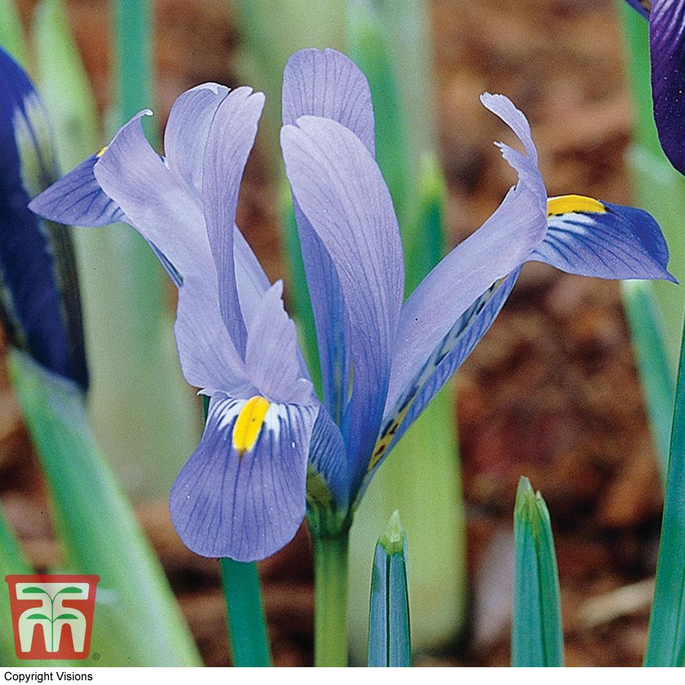 Image of Iris 'Harmony'