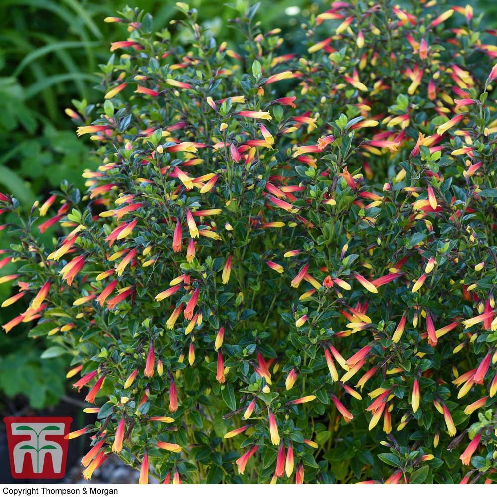 Image of Brazilian Fuchsia