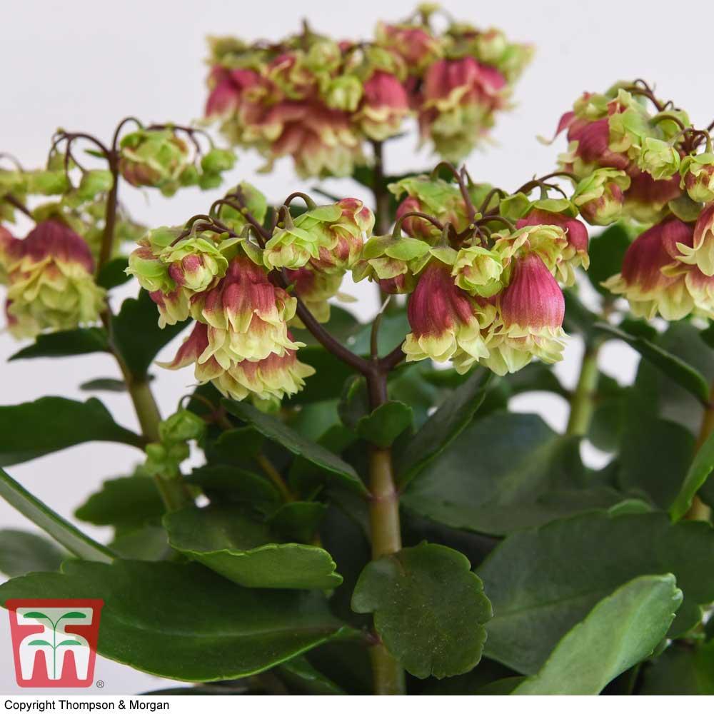 Image of Kalanchoe 'Dolly' (House Plant)