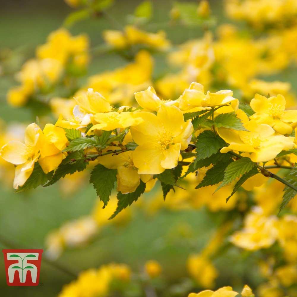 Image of Kerria japonica 'Golden Guinea'