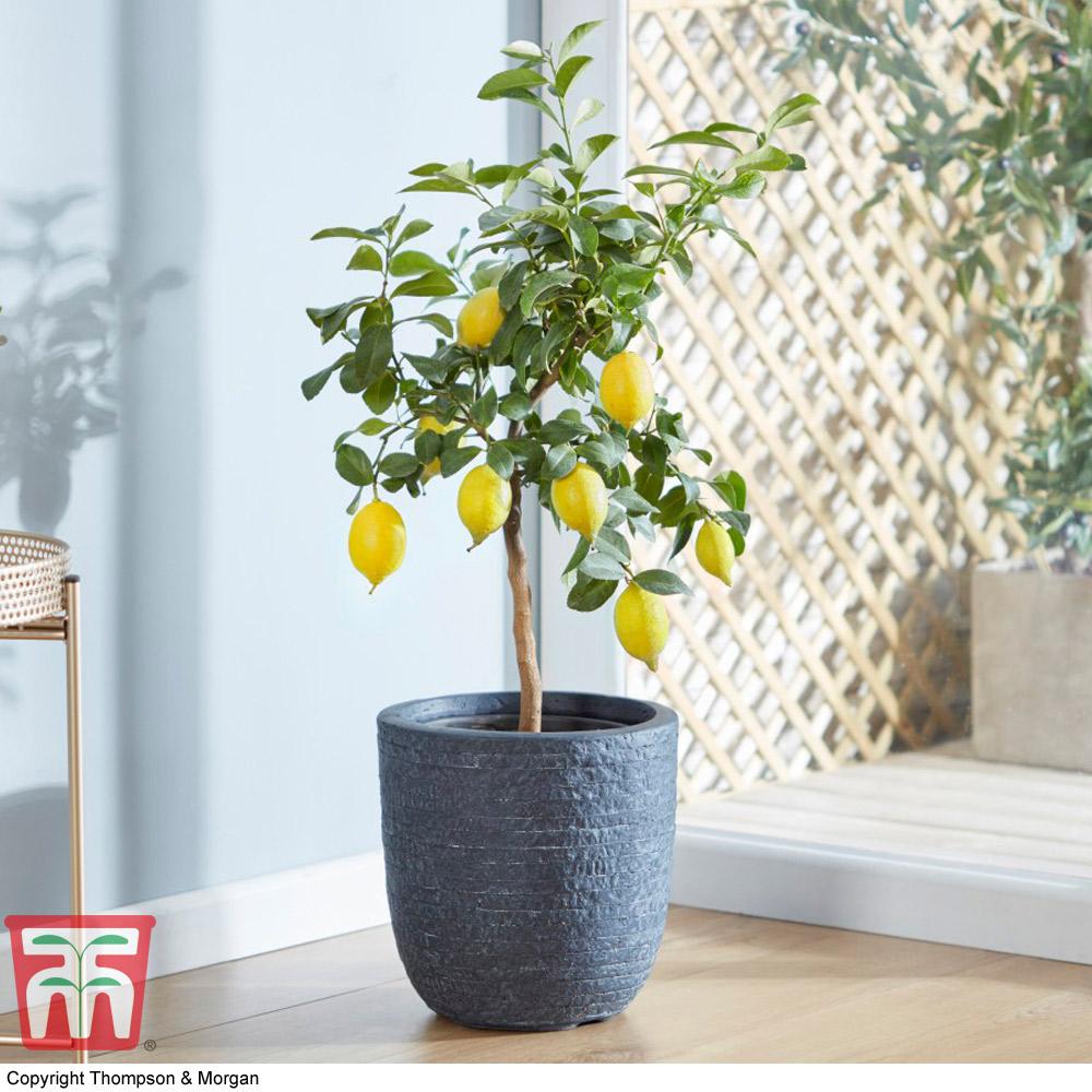 Image of Lemon 'Eureka'
