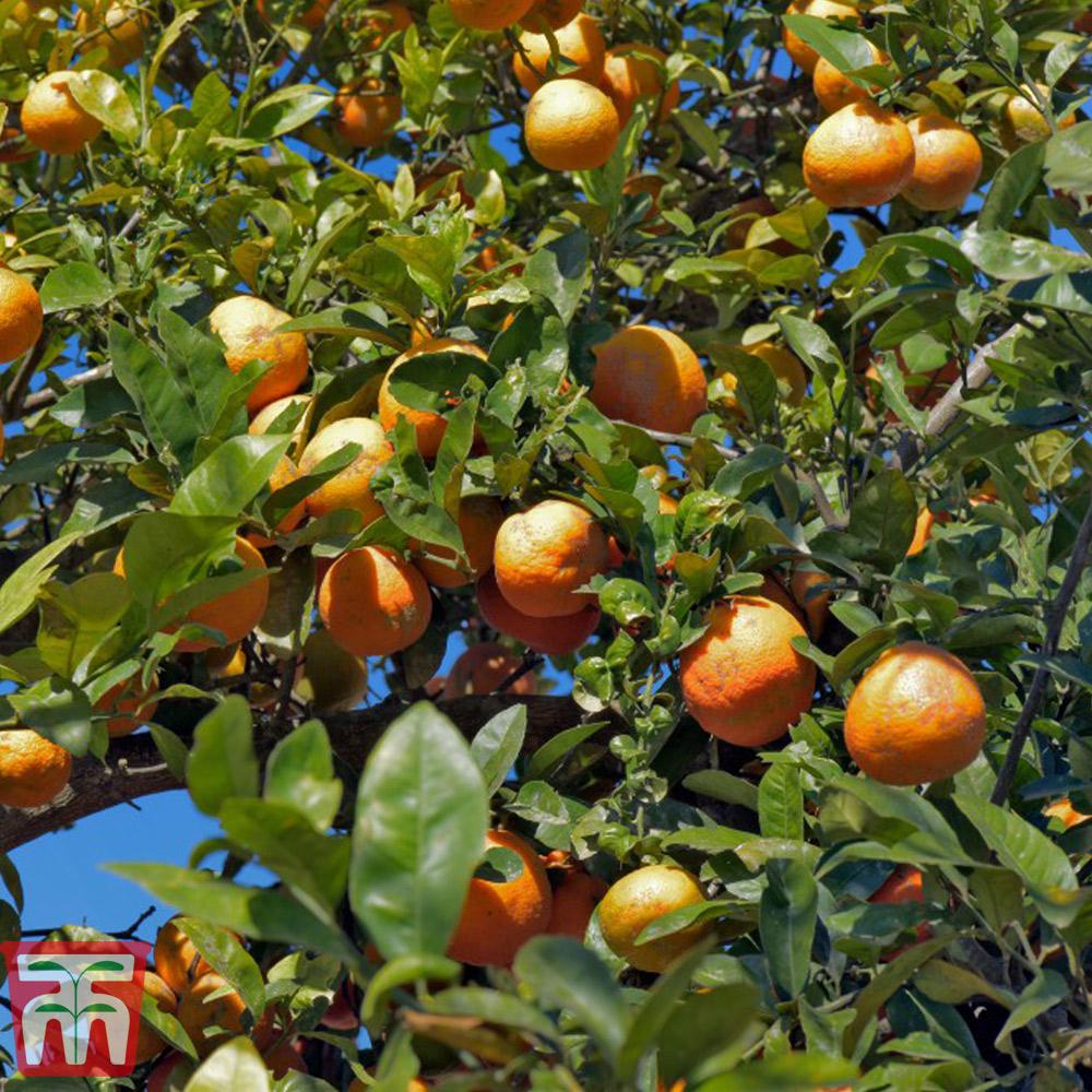 Image of Rangpur Lime