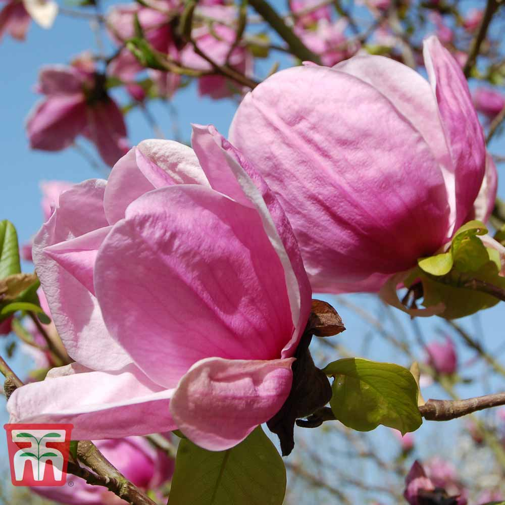Deep Pink Flowers Gardens /& Outdoors 1 x Magnolia Spectrum Tree in a 5 Litre Pot by Thompson /& Morgan Magnolia Potted Hardy Garden Plant Spring Flowering Tree