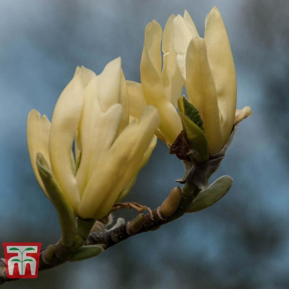 Image of Magnolia 'Butterflies'