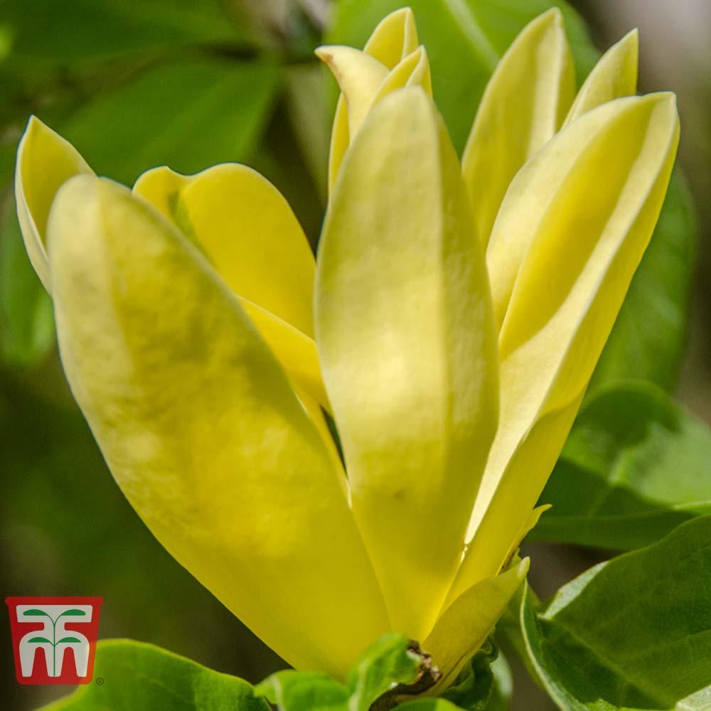 Image of Magnolia 'Daphne'