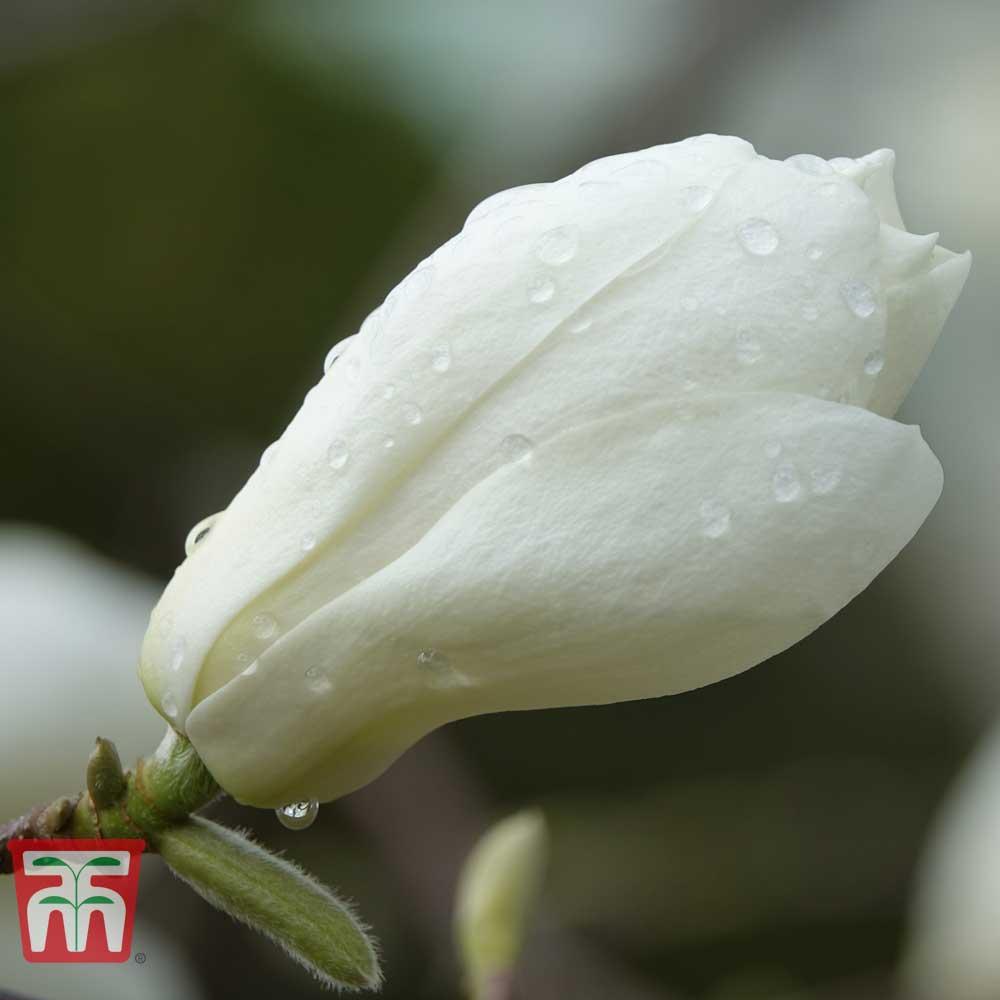 Image of Magnolia 'Elisa Odenwald'