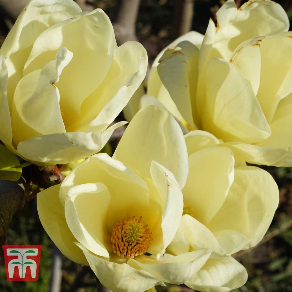 Image of Magnolia 'Honey Tulip'
