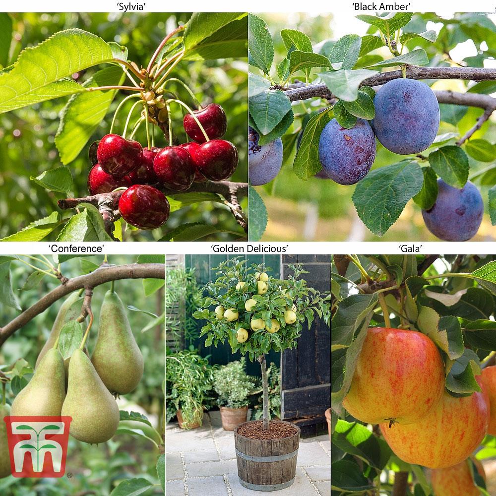 Image of Fruit Tree Collection (Mini Fruit Tree)