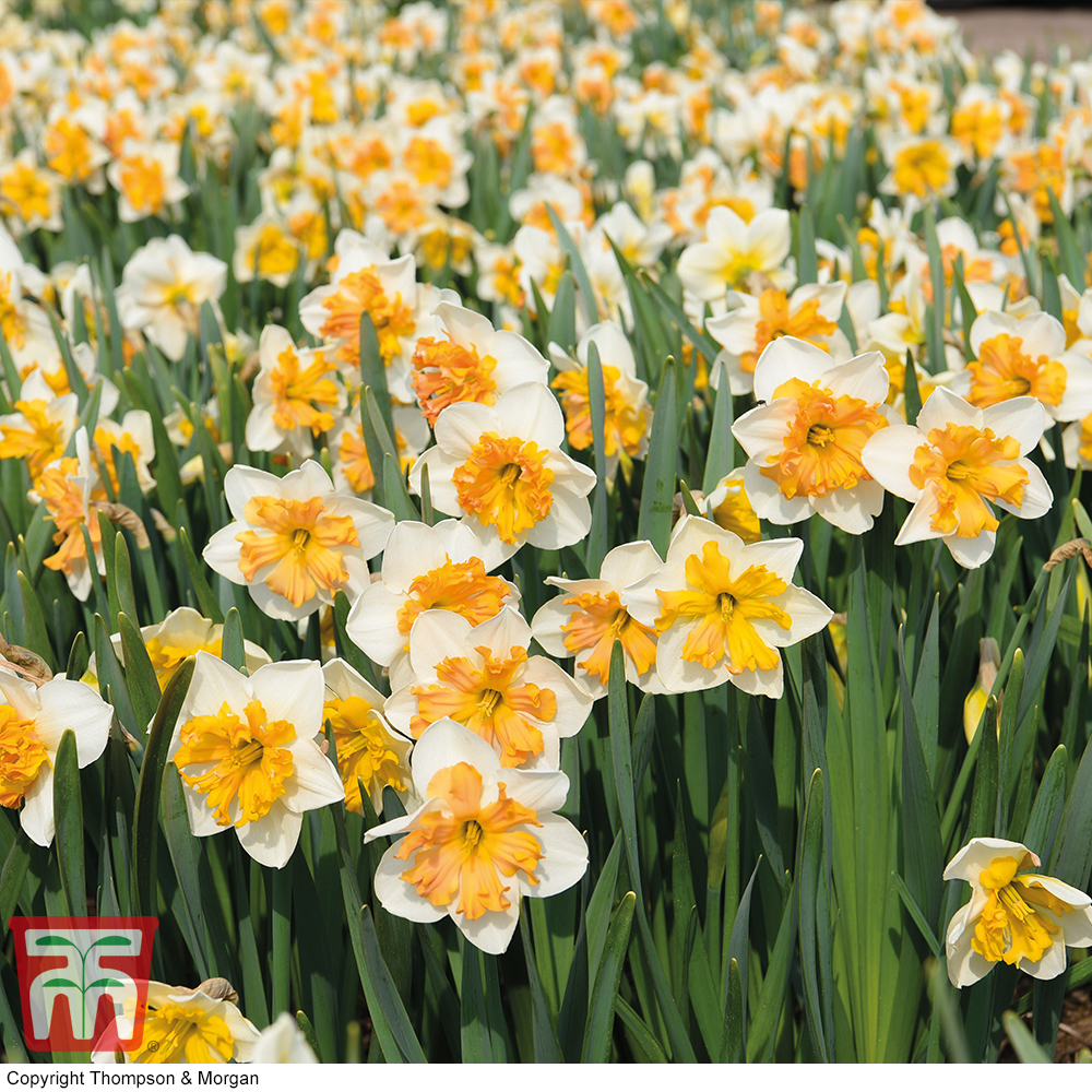 Image of Narcissus 'Hungarian Rhapsody'