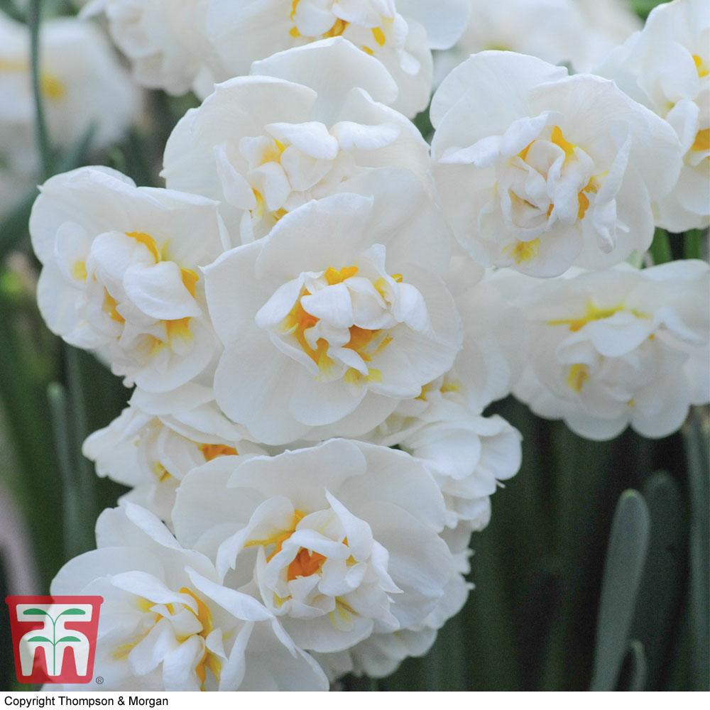 Image of Narcissus 'Cheerfulness'