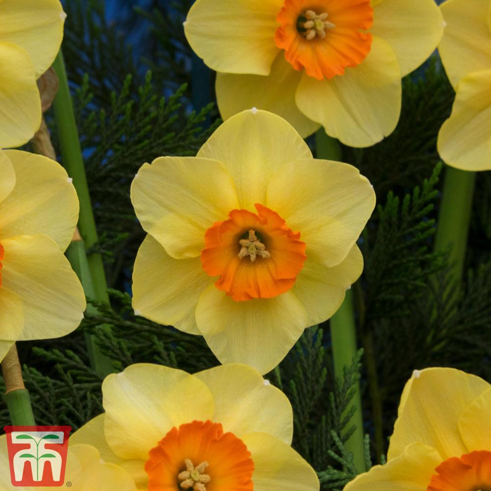 Image of Narcissus 'Birma'