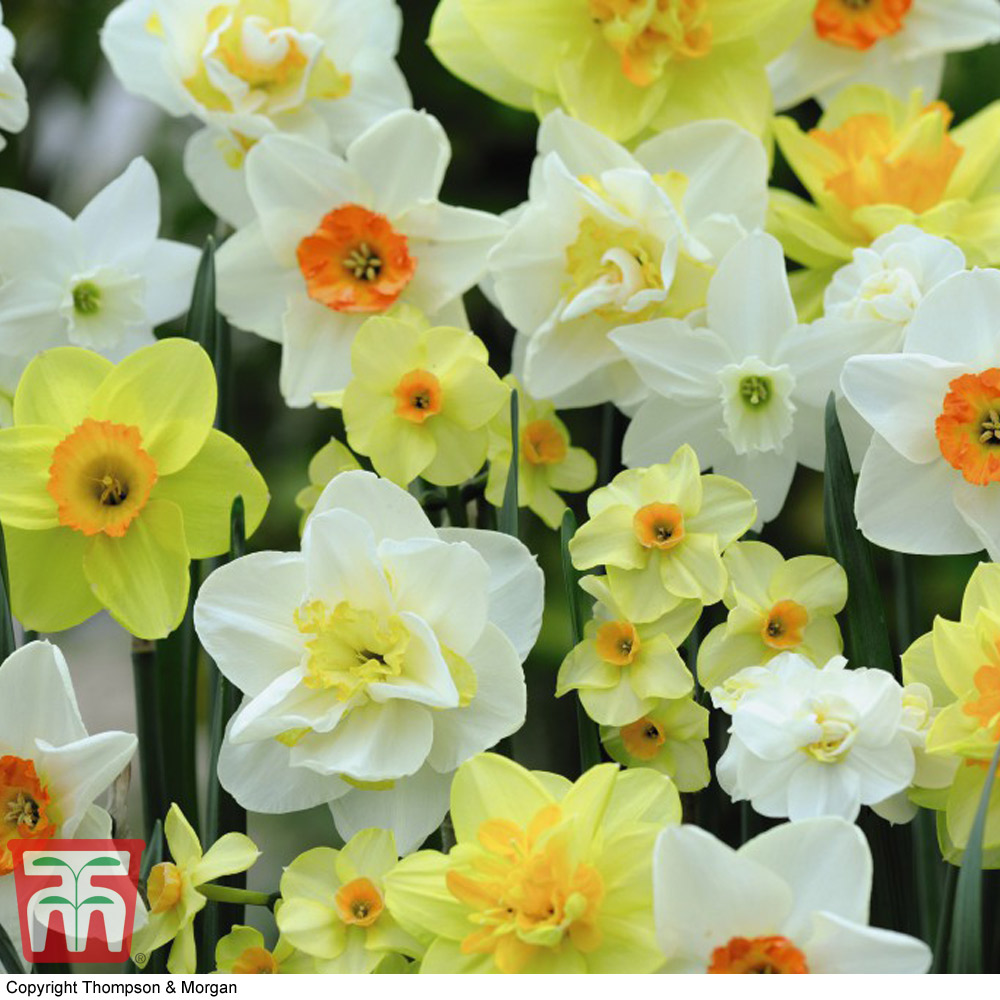 Image of Narcissus 'Spring Flowering Mix'