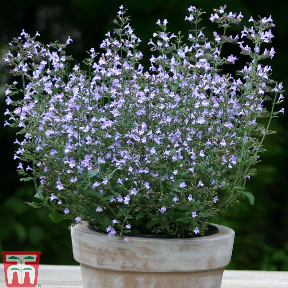 Image of Calamintha nepeta 'Marvelette Blue'