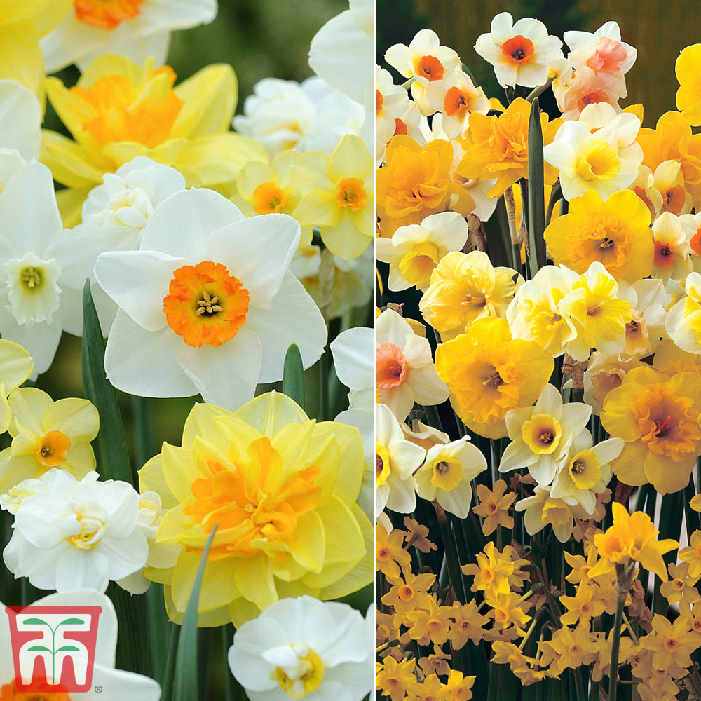 Image of Narcissus Duo