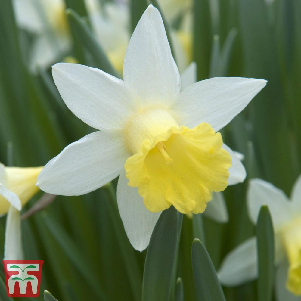 Image of Daffodil 'Topolino'