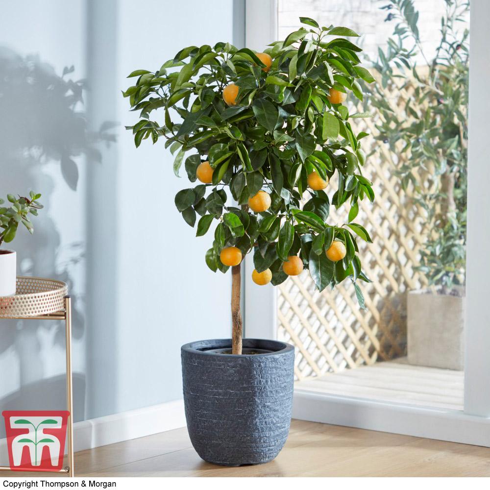 Image of Orange 'Bigaradier'