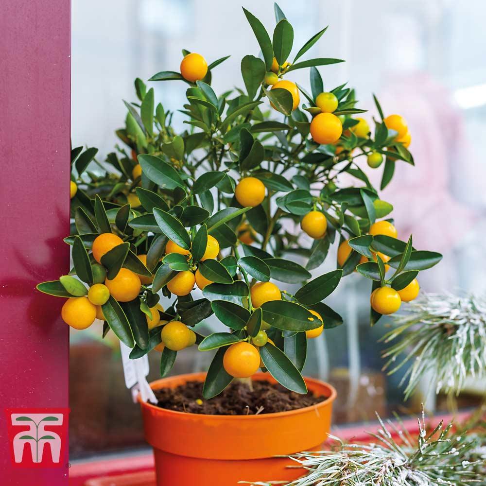 Image of Fruiting Orange Bush