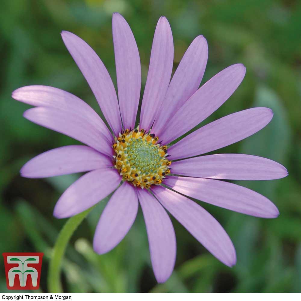 Image of Osteospermum jucundum var. compactum (Hardy)
