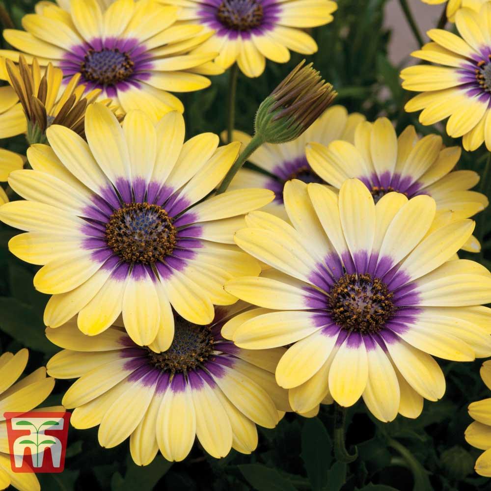Image of Osteospermum 'Blue Eyed Beauty'